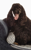 american cocker spaniel sitting up on dog bed poster