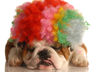 english bulldog with colorful clown wig