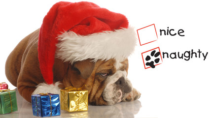 naughty english bulldog with christmas presents