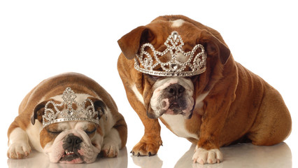 two english bulldogs wearing tiara