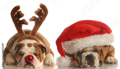 Fotobehang Dragen english bulldogs dressed up as santa and rudolph
