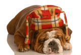 english bulldog wearing plaid hat poster
