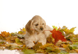 adorable cocker spaniel puppy playing in  autumn leaves poster