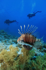 Lionfish and Scuba Divers
