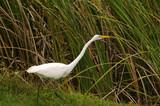Great egret ( ardea alba) in the Florida Everglades poster
