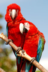 Two macaw parrots sitting together on a branch
