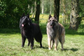 Deux Berger Belges Groenendael et Tervueren