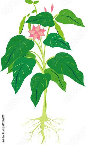 bean plant    PIXERSru