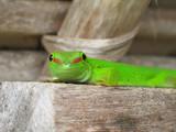 gecko lezard phelsuma madagascariensis grandis poster