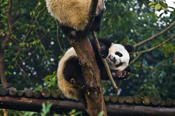 Panda bear waving at Chengdu Breeding Center China