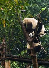 Panda bears playing in Sichuan, China