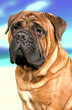Portrait of bullmastiff dog