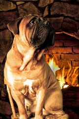 Bullmastiff sitting near fireplace