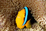 A clownfish sheltering among the tenacles of its anemone. poster