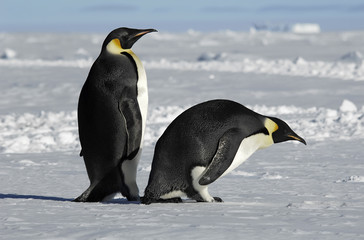 Antarctic penguin couple