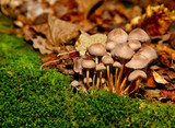 Fungus group on green moss in leaf poster