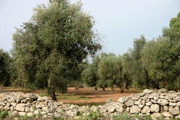 alberi olivo