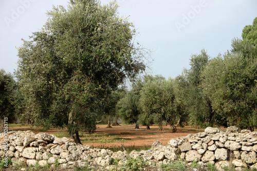 Alberi olivo di maelena foto stock royalty free 10263713 for Acquisto piante olivo