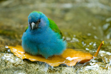 Blue bird taking bath