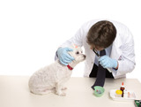 A maltese terrier receives a checkup at a veterinary clinic. poster