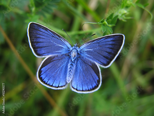 Deurstickers Vlinder Amanda's Blue - blue butterfly