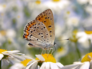 Sooty Copper butterfly on daisies