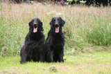 Flat-coated Retriever assis ensemble