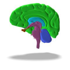 cut through a human brain with clipping path