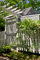 White trellis and fence with flowering bridal wreath shrub