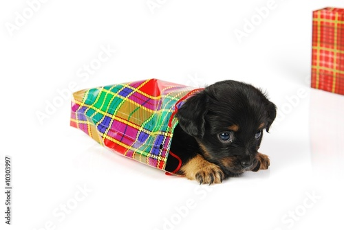 Mongrel puppy in gift bag in tartan pattern.