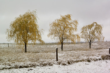 Three yellow trees in the snow fall