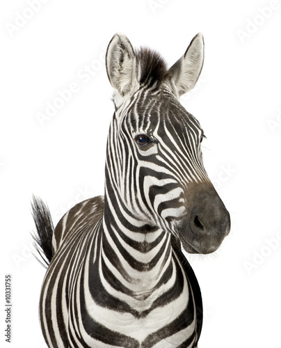 Foto op Canvas Zebra Front view of a Zebra in front of a white background