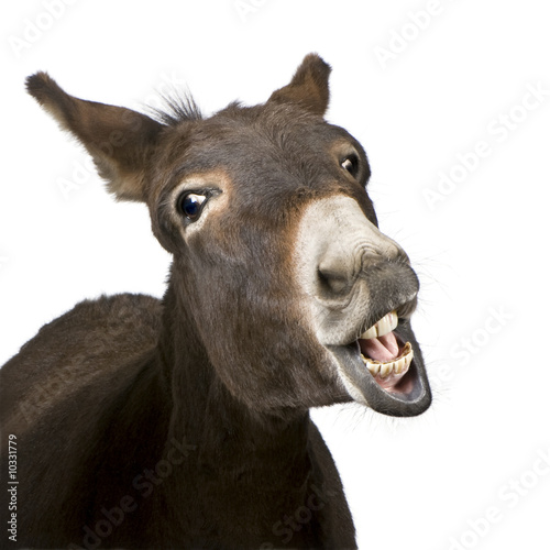 Poster Ezel donkey (4 years) in front of a white background