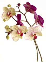 purple and yellow dotted petals of orchid flower