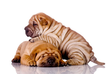 two Shar Pei baby dogs, almost one month old