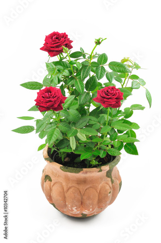 Red roses in pot isolated on white background