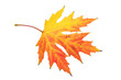 maple leaf isolated on a white