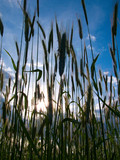 Silhouette of wheat stalks against a blue sky poster
