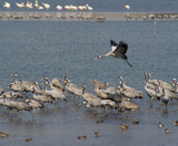 Cranes and pelicanes rest on lake in Israel on way to Africa