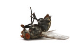 dead fly isolated on a white background - Fine Art prints