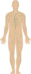illustration of the human immune system