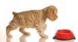 american cocker spaniel puppy walking to food dish poster