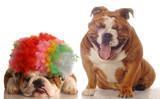 bulldog laughing at another bulldog wearing silly clown wig poster