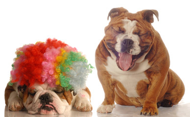 bulldog laughing at another bulldog wearing silly clown wig