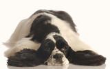 black and white american cocker spaniel lying down poster