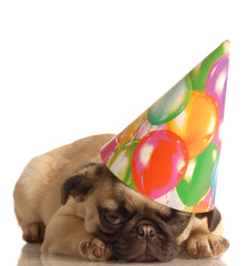 fawn pug puppy wearing birthday hat