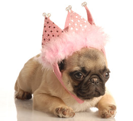 cute fawn pug puppy wearing pink tiara
