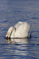swan - tasting water