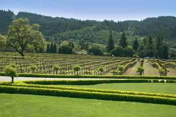 Vineyard in Sonoma