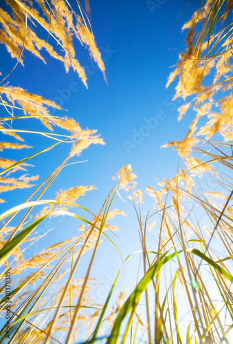 Foto op Canvas Aan het plafond High grass on blue sky background. View from the ground.